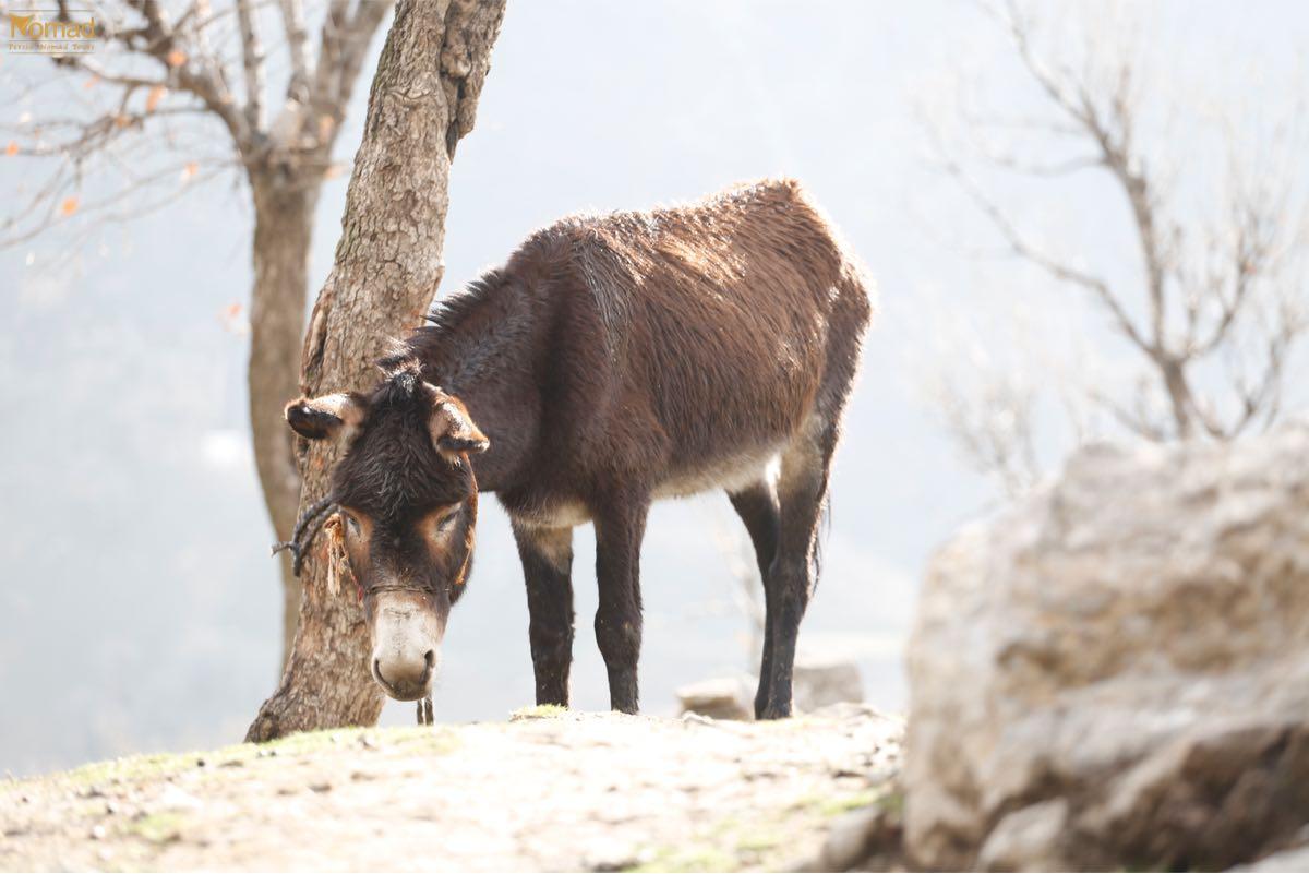 Nomad donkey