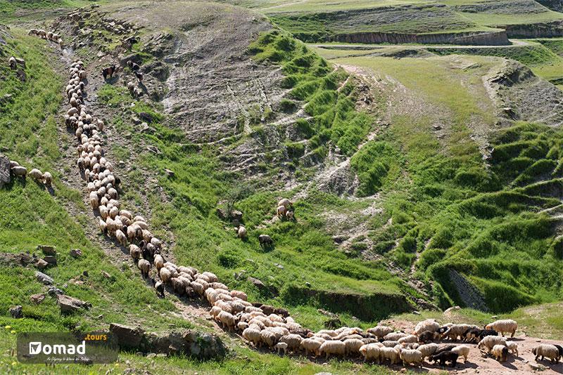 Flock of sheep- Nomads of Iran