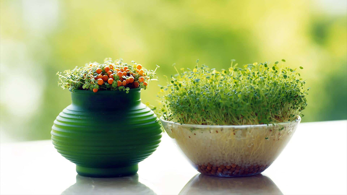Sabzeh- Nowruz - Persian New Year