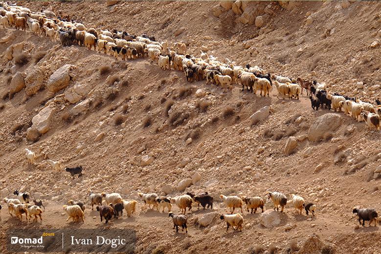 Flock of sheep-Iran Nomad Tours