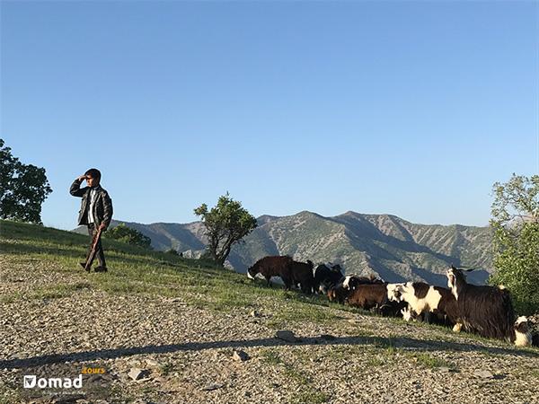 bakhtiari shepherd with flock iran nomad tours