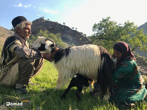 iranian nomadic family milking a goats