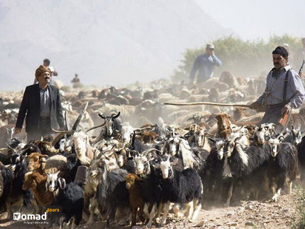 flock of sheeps and goats with nomadic shepherd