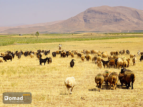 live with qashqai nomad- iran nomad tours